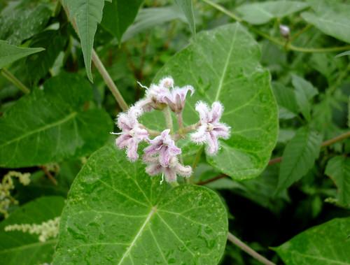 wガガイモの花
