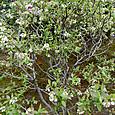 wブルーベリーの花