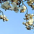 wコブシの花_2